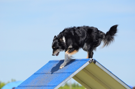 cur: Mixed-Breed Dog Climbing an A-frame at Dog Agility Trial