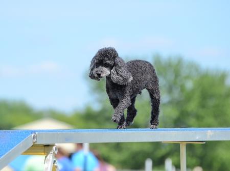 miniature breed: El caniche de juguete que se ejecuta en un perro de la caminata en un ensayo de la agilidad