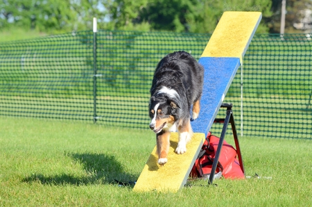 herding dog: Tricolor Australian Shepherd (Aussie) on a Teeter-Totter at Dog Agility Trial