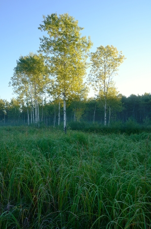 arden: Early Morning Light on Aspen Trees in Meadow near the Rice Creek North Regional Trail in Shoreview, Minnesota