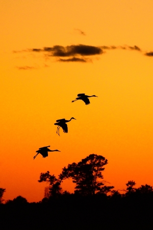 roost: Silhouettes of Sandhill Cranes (Grus canadensis) at Sunset