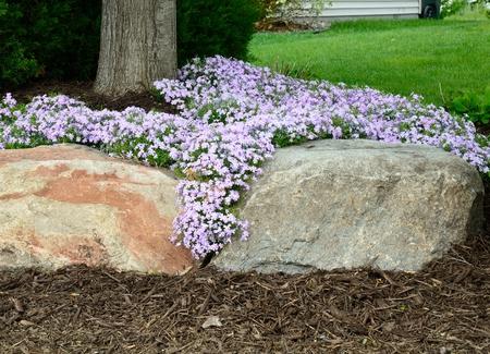 yard: Creeping Phlox (Phlox subulata) Landscaping and Rock Retaining Wall at a Residential Home