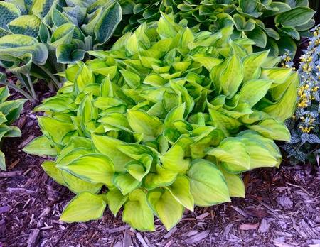 グリーンやゴールド斑入りギボウシ擬宝珠が多年生植物が育つ日陰の分野で 写真素材