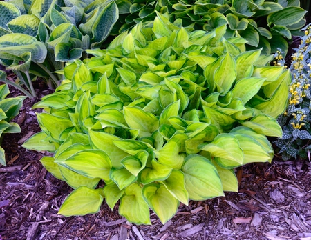 shady: Green and Gold Variegated Hosta, Hostas are Perennial Plants That Grow in Shady Areas