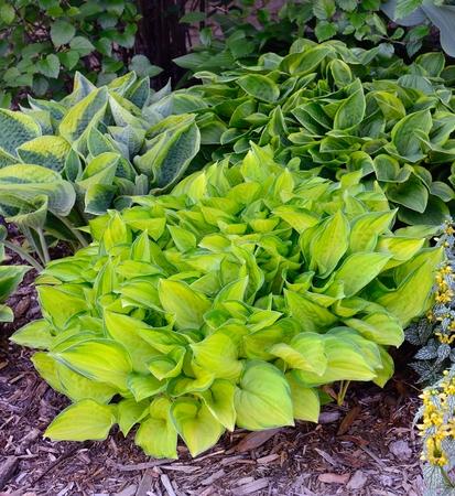 グリーンとゴールドの Hostas 斑入り、擬宝珠、多年生の植物に成長と日陰
