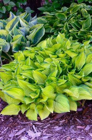 perennial: Green and Gold Variegated Hostas, Hostas are Perennial Plants That Grow in Shady Areas