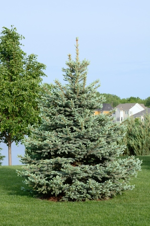picea: A Blue Spruce (Picea pungen) Tree Also Called a Colorado spruce