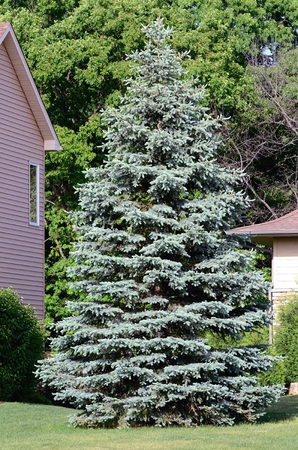 spruce: A Blue Spruce (Picea pungen) Tree Also Called a Colorado spruce