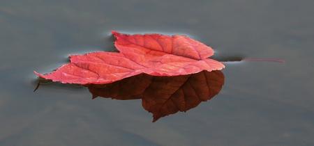 秋の水に浮かぶ 1 つのカラフルな赤いカエデの葉