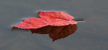 Single Colorful Red Maple Leaf Floating on the Water in Autumn