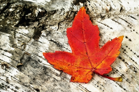 A Single Colorful Maple Leaf on a Birch Log in Autumn