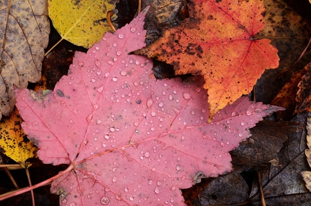 Many Wet Colorful Maple Leaves in the Fall
