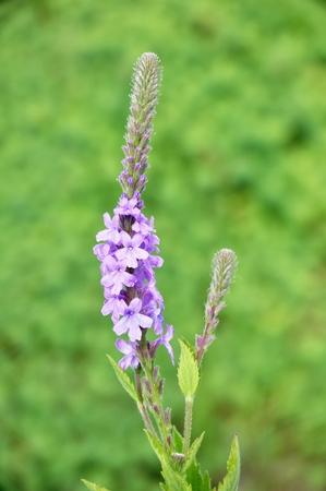 Hoary Vervain (Verbena stricta) Wildflower a Medicinal Herb
