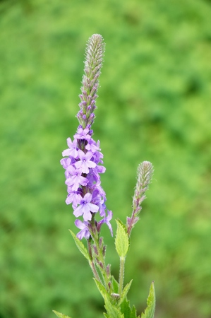 hoary: Hoary Vervain (Verbena stricta) Wildflower a Medicinal Herb