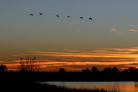 Silhouettes of Sandhill Cranes( Grus canadensis) Flying at Sunset