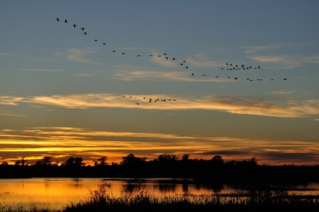 Silhouettes of Sandhill Cranes( Grus canadensis) Flying After Sunset