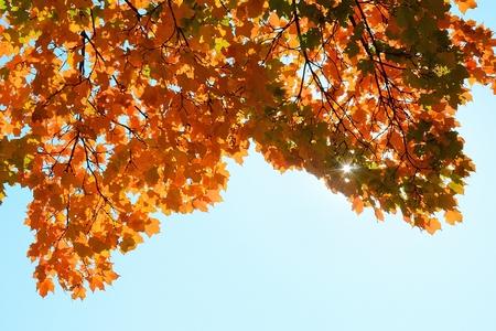 晴れた秋の日に色鮮やかなカエデの葉 写真素材
