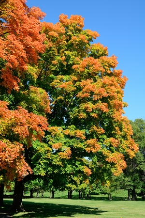 晴れた秋の日に公園でカラフルなもみじの木