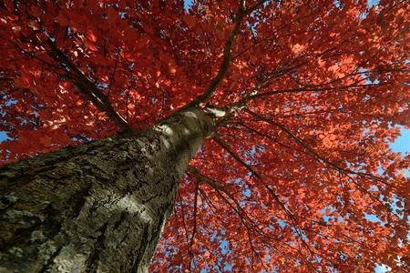 晴れた秋の日に赤いカエデの葉