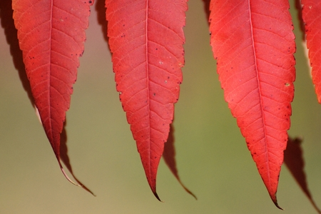 mn: Close-up of Red Sumac Leaves on a Sunny Autumn Day Stock Photo
