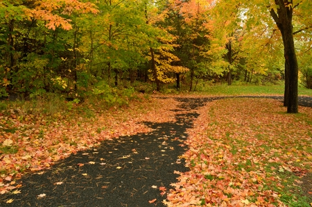 Colorful Fallen Maple Leaves on Paved Path in Autumn