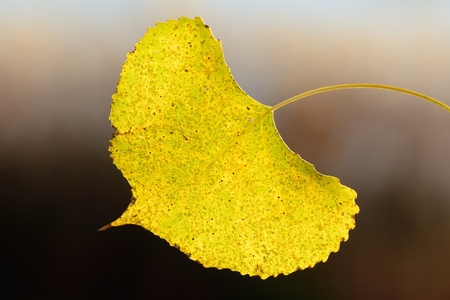 A Single Backlit Aspen Leaf on a Sunny Autumn Day