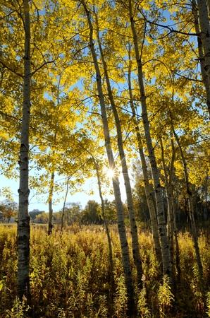 秋の朝にアスペンの木を通して輝く太陽 写真素材