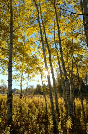 The Sun Shining Through Aspen Trees on a Fall Morning