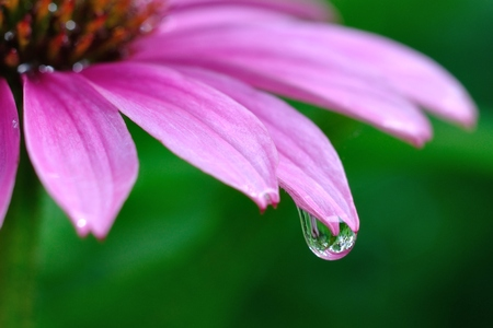 Macro Shot of Raindrop on Purple Coneflower (Echinacea purpurea)