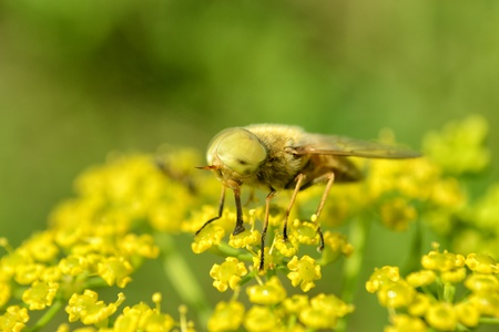 gad: Gad-fly on yellow flower Stock Photo