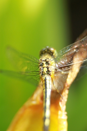 phylum: dragonfly