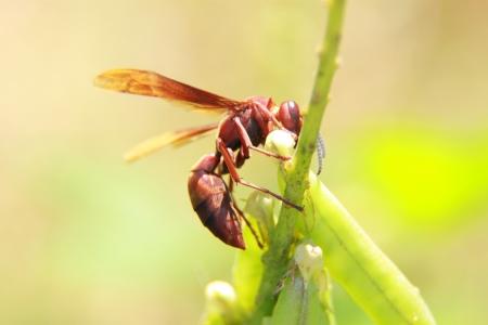 insecta: wasp