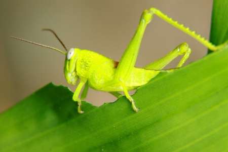 caelifera: grasshopper Stock Photo