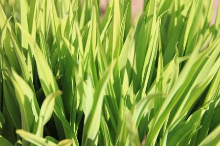 Fresh green grass closeup  photo