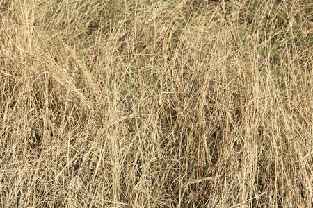Dry grass in spring