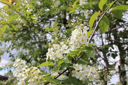 Flowering cherry  photo