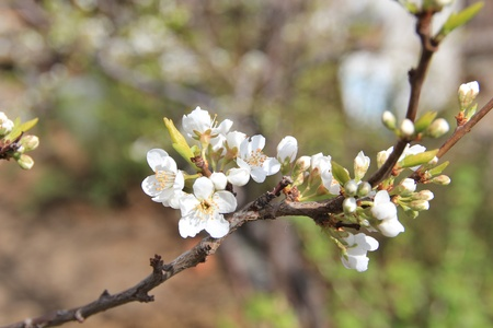 Blooming apple trees  photo