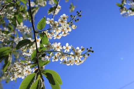 Flowering cherry in the sky Stock Photo - 9809137