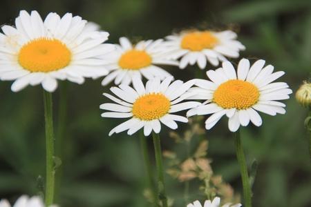 Growing white daisies  photo