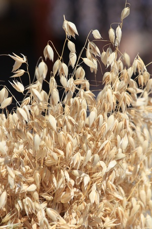 Ears of oats on a soft background