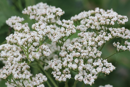 flowers valerian
