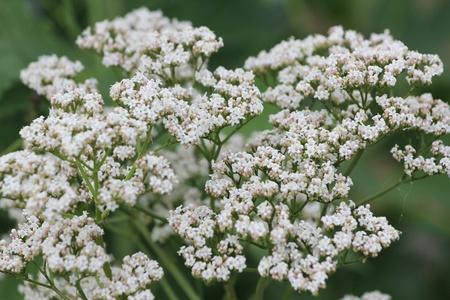 valerian: flowers valerian