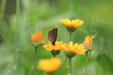 A beautiful butterfly sits on a yellow marigold photo