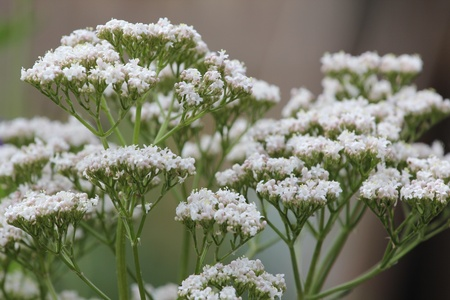 flowers of Valeriana Stock Photo