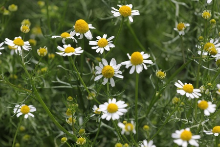 The flowers of camomile photo