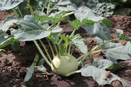 Kohlrabi in the garden