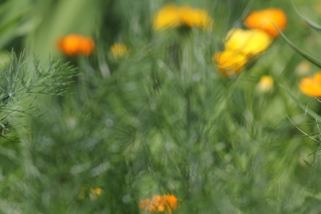 yellow marigold photo