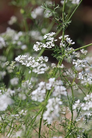 A plant with small white flowers photo