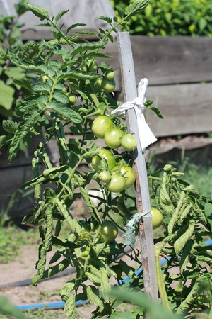 Tomatoes in the garden photo