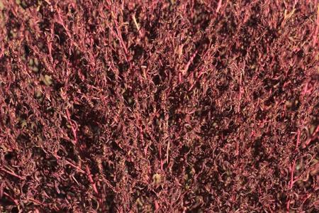 red bush: Red bush closeup